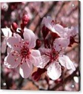 Pink Blossoms 033014c Acrylic Print