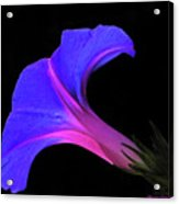 Pink Blue Flower Acrylic Print by Chaza Abou El Khair
