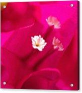 Pink Bougainvillaea Acrylic Print