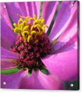 Pink Breeze Acrylic Print
