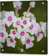 Pink Bright Eyes Garden Phlox Acrylic Print