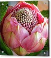 Pink Bud Waratah Acrylic Print