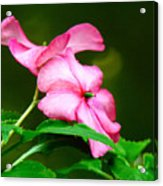 Pink Busy Lizzies Acrylic Print