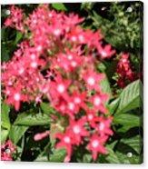 Pink Butterfly Penta Flowers Acrylic Print
