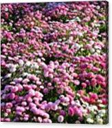 Pink Button Pom Flowers Acrylic Print