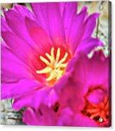 Pink Cacti Flowers Acrylic Print