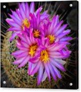 Pink Cactus Flowers Square  Acrylic Print