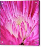 Pink Cadillac Acrylic Print