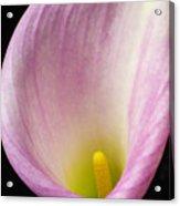 Pink Calla Lily Close Up Acrylic Print