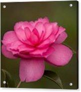 Pink Camellia 3 Acrylic Print