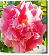 Pink Camellia At Pilgrim Place In Claremont-california  Acrylic Print