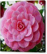 Pink Camellia Dream  Acrylic Print