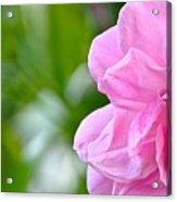 Pink Camellia Acrylic Print by Lori Kesten