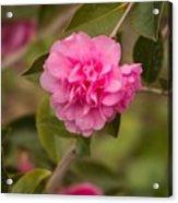 Pink Camellia 2 Acrylic Print