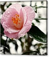 Pink Camellia With Raindrops Acrylic Print by Eva Thomas
