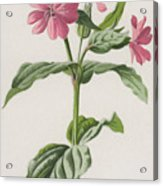 Pink Campion Acrylic Print