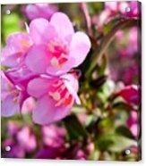 Pink Cardinal Bush Flowers Acrylic Print