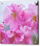 Pink Cherry Blossom Cluster Acrylic Print