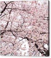 Pink Cherry Blossom Tree Acrylic Print