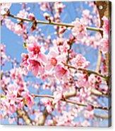 Peach Flowers Acrylic Print