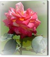Pink Chiffon Ruffles Acrylic Print