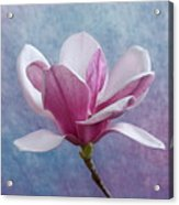 Pink Chinese Magnolia Flower Acrylic Print