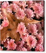 Pink Chrysanthemums With Pin Oak Leaf Acrylic Print