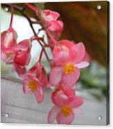 Begonia Acrylic Print