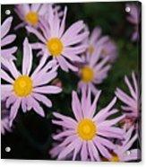 Pink Clara Curtis Daisy Chrysanthemum Acrylic Print