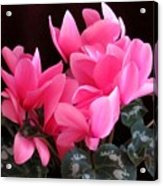 Pink Cyclamen 2  Acrylic Print
