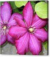 Pink Clematis Climber Acrylic Print