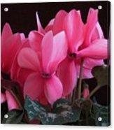 Pink Cyclamen  Acrylic Print