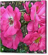 Pink Climbing Roses - Digitally Enhanced Acrylic Print