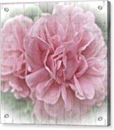 Pink Climbing Roses Acrylic Print