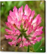 Pink Clover Flower Acrylic Print