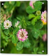 Pink Clover Flowers Acrylic Print