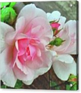 Pink Cluster Of Roses Acrylic Print