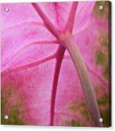 Pink Coleus Acrylic Print