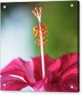 Pink Colored Hibiscus Closeup Image Acrylic Print