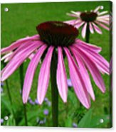 Pink Cone Flowers Acrylic Print