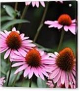 Pink Coneflowers Acrylic Print