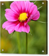 Pink Cosmo Acrylic Print by Steve Augustin
