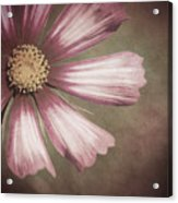 Pink Cosmos Painting Acrylic Print