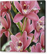 Pink Cymbidium Orchid #3 Acrylic Print