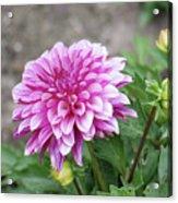 Pink Dahlia 2  Acrylic Print