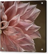 Pink Dahlia In Bloom Acrylic Print