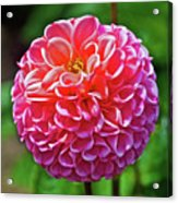 Pink Dahlia In Golden Gate Park In San Francisco, California  Acrylic Print