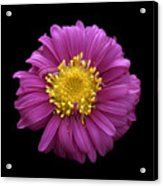 Pink Dahlia On Black Velvet Acrylic Print