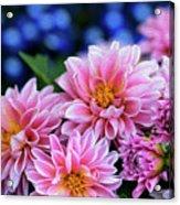 Pink Dahlias On Lobelia Acrylic Print