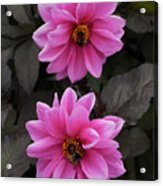 Pink Dahlias With Bees Acrylic Print